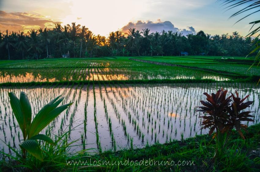 Campos de Arroz en Tegallalang (Bali)
